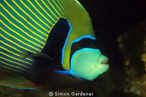 Emperor angelfish ( pomacanthus imerator ) full frame no ... by Simon Gardener