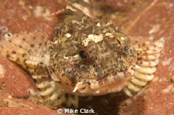 scorpion fish up close by Mike Clark