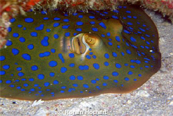 it is a blue spotted stingray related to the shark wich i... by Ronan Hochart