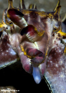 Flamboyant Cuttlefish feeding and on the move ...Taken wi... by David Henshaw