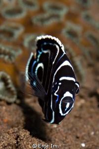 Emperor angelfish juv. by Enje Im