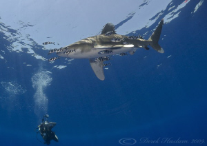Oceanic whitetip shark. Elpinstone reef. D3,16mm. by Derek Haslam