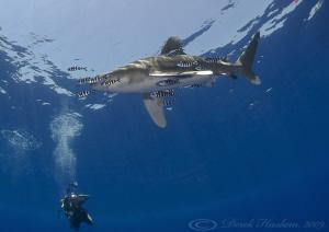 Oceanic whitetip shark. Elpinstone reef. D3,16mm. by Derek Haslam