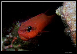This male cardinal fish (apogon imberbis) was hatching th... by Daniel Strub