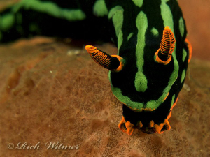 Electric Nudi (Nembrotha kubaryana) in Davao.  G9/Ikelite... by Richard Witmer