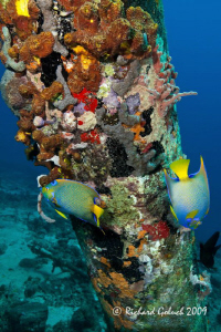 Two Queen Angelfish at The Salt Pier-Bonaire-Canon 5 D MK... by Richard Goluch