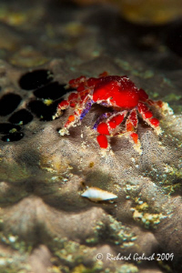 "Cryptic Teardrop Crab,1/2-3/4 ""-night dive Bonaire,no cro... by Richard Goluch"