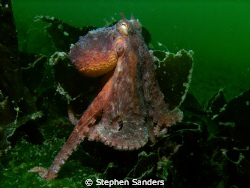 """go"" taken in mukilteo kelp behind the giant pacific octo... by Stephen Sanders"