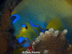 Busy Queen Angel Fish by Gary Ramey