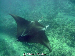 This manta-ray swam right past me out of no-where Exmouth:) by Chloe Taylor