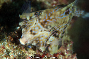 thorn-back trunkfish ( Terosomus gibbosus ) shot wit n ik... by Simon Gardener