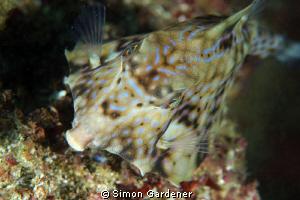 thorn-back trunkfish ( Terosomus gibbosus ) shot wit n ik... by Simon Gardener