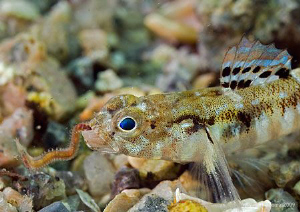 Painted Goby eating worm. Aughrusmore Pier, Connemara. ... by Mark Thomas