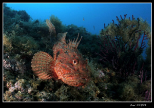Huge scorpionfish at the Islas Medes :-D by Daniel Strub