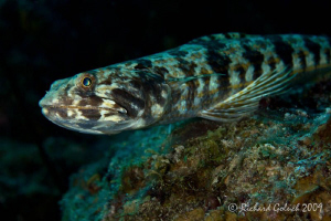 Sand Diver-Canon 100 mm macro full frame,no cropping-Bonaire by Richard Goluch