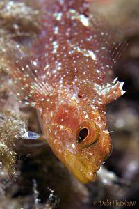 Yellow Triplefin taken in Menorca D200, 60mm. by Debi Henshaw