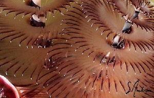 This image of a Christmas Tree Worm taken while diving in... by Steven Anderson