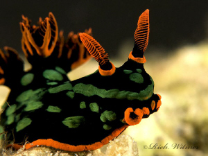 Nembrotha kubaryana.  Davao.  G9/DS160s/Stacked Inon UCL1... by Richard Witmer