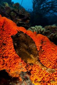 """""""Little Devil in Hell underwater""""-Bonaire 2009 by Richard Goluch"""