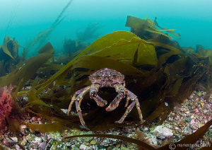 Spider crab in Streamstown Bay. D3 10.5mm. by Mark Thomas