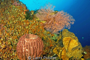 More fans and corals of the Banda Sea. D300- Tokina 10-17mm by Larry Polster