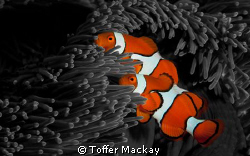 Clown Anemone Fish - Manipulated background to Black and ... by Toffer Mackay