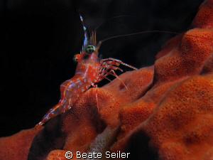 Durban Hinge-beak Shrimp taken at Wakatobi with canon S70... by Beate Seiler