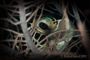 Green Sea Turtle hiding in a soft coral-Bonaire 2009 by Richard Goluch