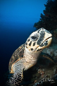 This turtle was quite happy to push against my dome port.... by Julian Cohen