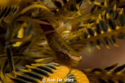 Cling fish inside a featherstar, 60 mm marco lense by Rob De Vries