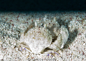 A pair of box crabs.  The dive master explained their beh... by Larissa Roorda