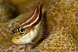 triplefin closeup / Canon 450D + 60mm + EF12 + 2x tc by Enje Im