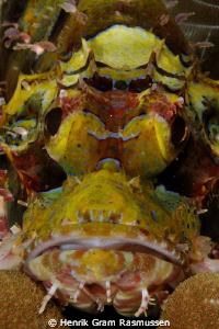 Scorpionfish on coral (portrait) Nikkor 60mm, manual focus by Henrik Gram Rasmussen