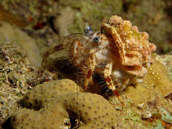 Hermit crab taken at the Barge on a night dive. A site th... by James Dawson
