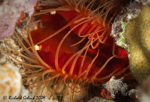 Rough Fileclam and Hermit Crab on a night dive-Canon 100 ... by Richard Goluch