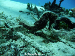 A beautiful little Seahorse doing his best to stay camouf... by John Passov