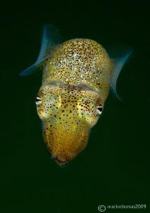 Sepiola atlantica - the little cuttle. Aughrusmore Pier,... by Mark Thomas