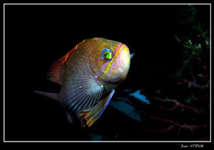 Anthias: bright colours :-D by Daniel Strub