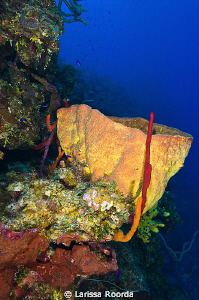 A yellow sponge at Randy's Gazebo, Bloody Bay Marine Park... by Larissa Roorda