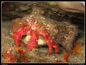 Hermit crab with anemones. Saint-Florent Bay, Corsica. Ca... by Bea & Stef Primatesta