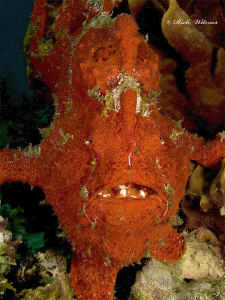 Open the Hatch!  Giant Frogfish in Davao.  Notice the col... by Richard Witmer