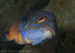 Male Cuckoo wrasse. Plymouth. D3, 105mm. by Derek Haslam