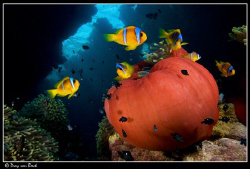 Red Anemone with anemonefish. by Dray Van Beeck