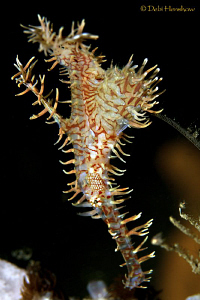 Ornate Ghostpipefish - look close and you can see eggs in... by Debi Henshaw