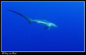 Thresher shark at Daedalus reef. by Dray Van Beeck