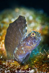sailfin blennie by Victor Zucker