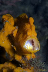 """I'm Bored"" Orange frogfish caught yawning! by Debi Henshaw"