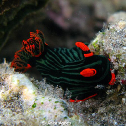 nembrotha kubaryana found during snorkeling at sulamadaha... by Adita Agoes