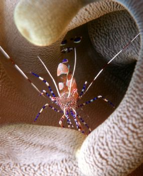 Spotted Cleaner Shrimp by Beverly J. Speed