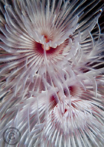 Tube worm closeups.  Canon G10, dual Inon UCL165 and dual... by Stephen Holinski